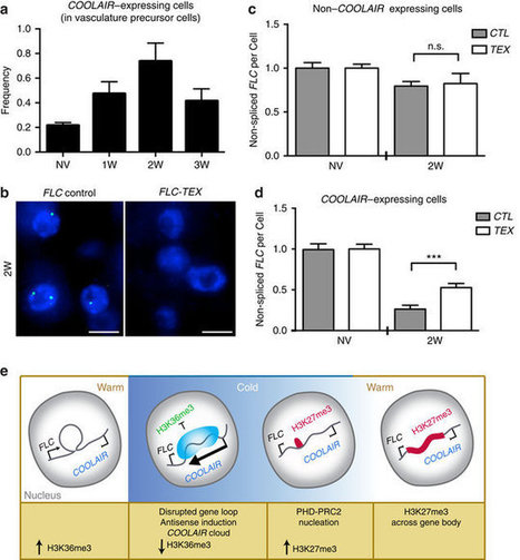 Mutually exclusive sense–antisense transcription at FLC facilitates environmentally induced gene repression | Emerging Research in Plant Cell Biology | Scoop.it