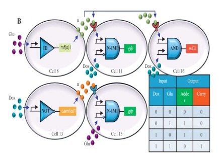 ScienceDirect.com - Metabolic Engineering - Engineering of Synthetic Intercellular Communication Systems   SynBioFromLeukipposInstitute   Scoop.it