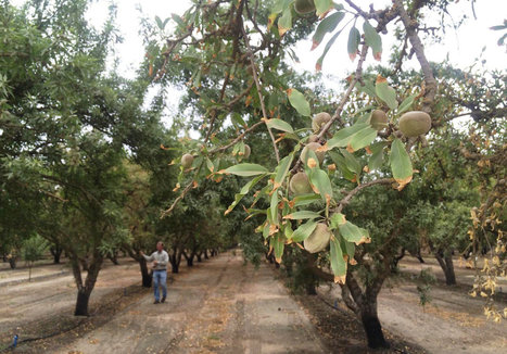 Salt Is Slowly Crippling California's Almond Industry | Food issues | Scoop.it