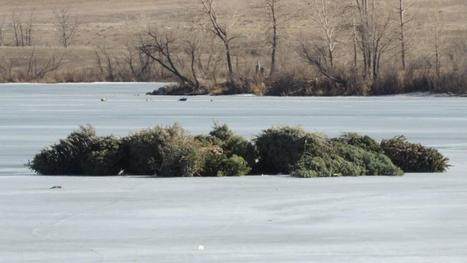 Christmas Trees Being Used To Improve Ecosystem At Bear Lake in Colorado | Christmas Trees and More | Scoop.it