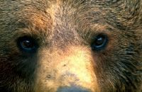 Hunting is not a solution. Neither for wolves nor for bears. | Saving the Wild: Nature Conservation in the Caucasus | Scoop.it