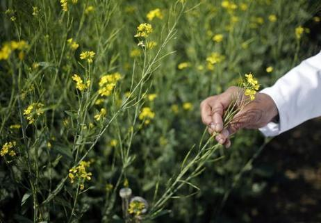 India's PM bets on GM crops for second green revolution - Reuters (2015) | Ag Biotech News | Scoop.it