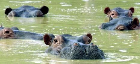 Les hippopotames de Pablo Escobar sont de plus en plus gênants | Le Grand Paris | Scoop.it
