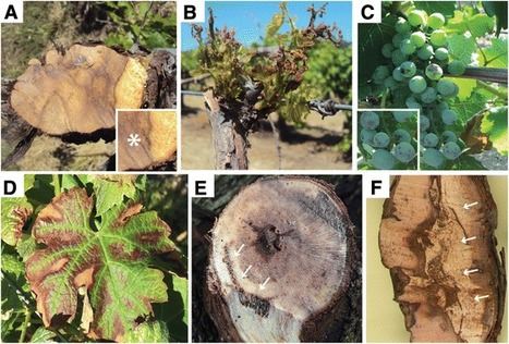 Distinctive expansion of gene families associated with plant cell wall degradation, secondary metabolism, and nutrient uptake in the genomes of grapevine trunk pathogens | BMC Genomics | Full Text | Plant Gene Seeker -PGS | Scoop.it
