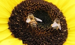 Wild bees on the decline in key US agricultural ecosystems – study | Food issues | Scoop.it