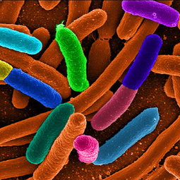 Is There Nothing Science Can't Do With E. coli? - Popular Mechanics | Genetic engineering and Human genetics, background reading and resources for IB | Scoop.it