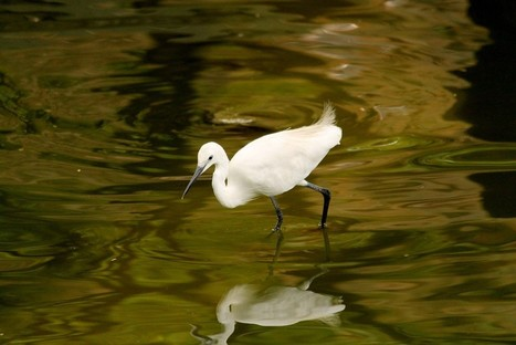 Little Egret&hellip;<br/>More photos... | Interesting Photos | Scoop.it
