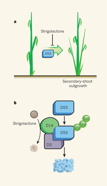 Nature: Witchcraft and destruction (protein degradation and strigolactone signaling) | Plant hormones | Scoop.it
