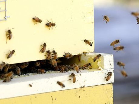 Wisconsin beekeepers battle dramatic honeybee losses | Farming, Forests, Water, Fishing and Environment | Scoop.it