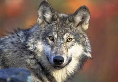 License to Kill: Michigan Wolf Hunters Snap Up Nearly 1,000 Permits in First 30 Minutes of Sale | Wildlife | Scoop.it