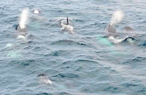 For transient killer whales, a rare close up look at humans | Orca Whales in the Wild | Scoop.it