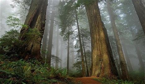 El árbol más alto del mundo | Noticias de Ciencias | Scoop.it