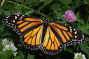 U.S. citizens willing to spend billions to protect monarch butterflies   Mes passions natures   Scoop.it