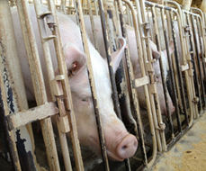 Anti-Whistle-blower Ag-Gag Bills Aimed at Keeping You In the Dark About Pigs, Factory Farms - And Your Food | Vertical Farm - Food Factory | Scoop.it