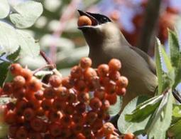 Drunk birds had one-too-many berries to blame - life - 25 May 2012 - New Scientist | Polymerase | Scoop.it