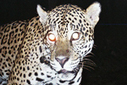 Crazy cat numbers: unusually high jaguar densities discovered in the Amazon rainforest | Places In The Forest | Scoop.it