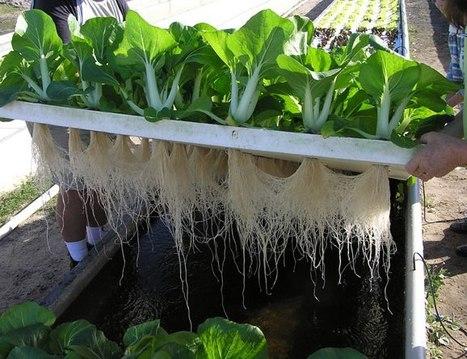 La Hidroponía o el raro arte de cultivar sin suelos | techos y muros verdes con sistemas hidroponicos | Scoop.it