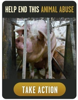 New Video: Canada's Pork Industry Animal Abuse Exposed | Nature Animals humankind | Scoop.it