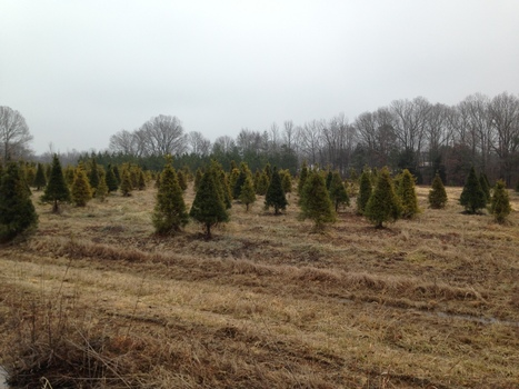 Lawmakers Consider 15-Cent Christmas Tree Fee | Christmas Trees and More | Scoop.it