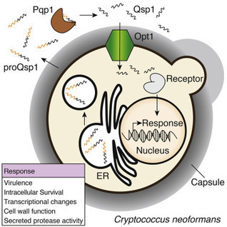 Intracellular Action of a Secreted Peptide Required for Fungal Virulence   microbial pathogenesis and plant immunity   Scoop.it