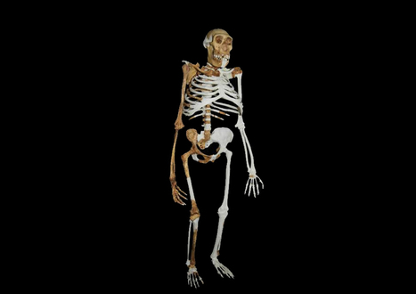 Sediba's ribcage and feet were not suitable for running - HeritageDaily | Archaeology | Scoop.it