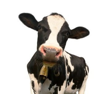 Happy cows make more nutritious milk | Agrarforschung | Scoop.it