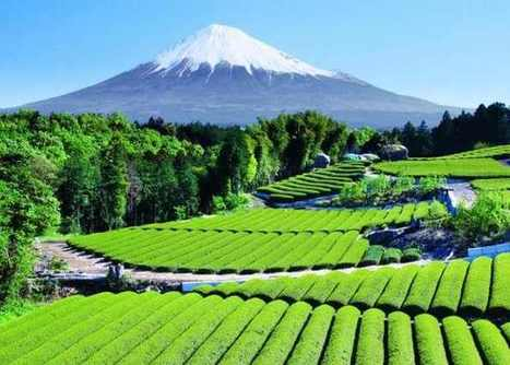 Tea Garden Near Mount Fuji in Japan   The Best Places in the World to Travel   Scoop.it