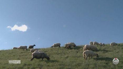 Le Valais veut aider à mieux protéger les troupeaux contre le loup | Loup | Scoop.it