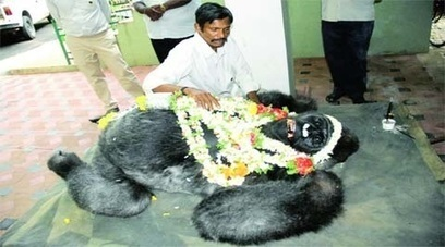 South Asia's Only Gorilla, Polo, Dies - | Indian Society | Scoop.it