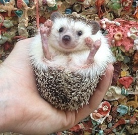Hedgehog has a way more adventurous life than most of us [20 pictures] | Life | Scoop.it