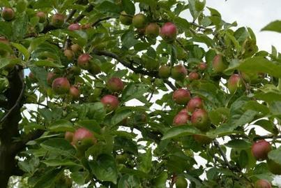 Mais où sont passées les pommes de nos grands-parents?   Agroécologie   Scoop.it