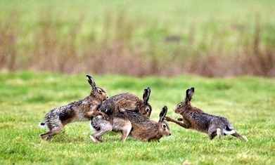 March hare madness: Country diary 100 years ago | Wildlife Trust of South and West Wales | Scoop.it
