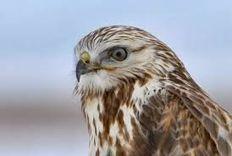News Press - Encore une buse criblée de plombs - LPO - Ligue pour la Protection des Oiseaux   Ces animaux sauvages ou domestiques maltraités par l'homme   Scoop.it