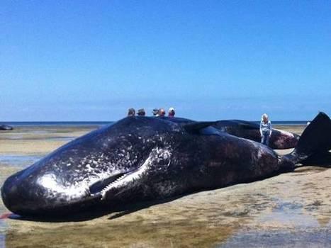 Video: Watch Seven dead sperm whales found dead on beach in South Australia | World whale rescue | Scoop.it