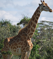 Giraffe Conservation Foundation - Protecting Giraffe | Tessa Winship.com Children's Picture Books | Scoop.it