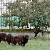 Des moutons pour tondre en ville, un gain pour l'environnement ?   Environnement urbain   Scoop.it