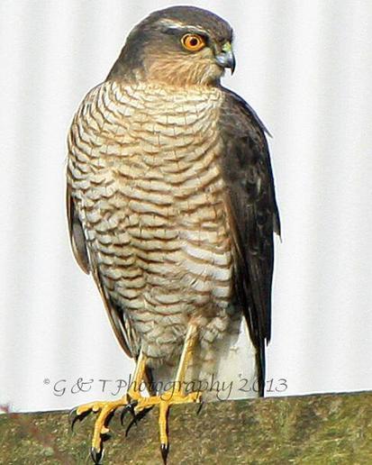 Tweet from @G_T_Photography   British Birds of Prey   Scoop.it
