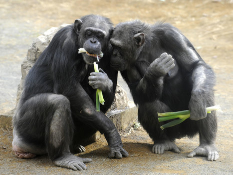 Scientists may have found evidence that chimps believe in god   Nimming recommends...   Scoop.it