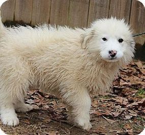 Let's Help to Adopt! 2 | Great Pyrenees & Canine Rescue | Scoop.it