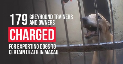 179 greyhound owners & trainers charged with sending Aussie dogs to certain death in China | Nature Animals humankind | Scoop.it