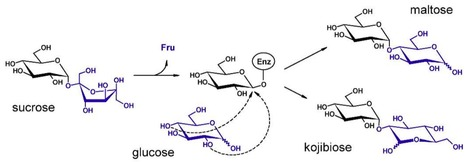 Converting bulk sugars into prebiotics: semi-rational design of a transglucosylase with controlled selectivity | Computational approaches for protein engineering and design | Scoop.it