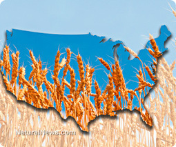 GMO genetic pollution alert: Genetically engineered wheat escapes experimental fields planted across 16 states | Plant Based Nutrition | Scoop.it