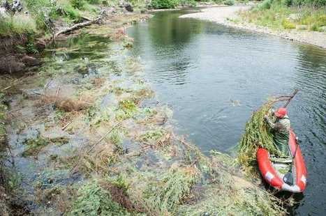 Donate your holiday tree for salmon habitat - Portland Tribune | Fish Habitat | Scoop.it