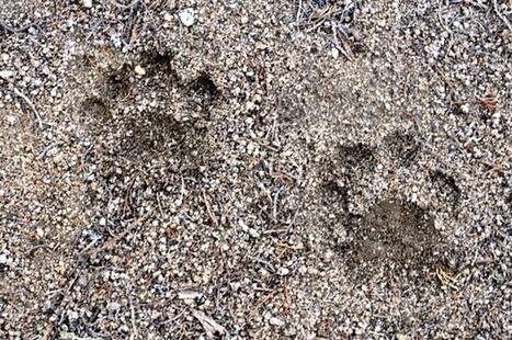 Caucasian leopard sightings in Armenia | Saving the Wild: Nature Conservation in the Caucasus | Scoop.it