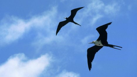 How birds fly while sleeping, Newshour - BBC World Service | News Through Tech ( or is it Tech through News?) | Scoop.it