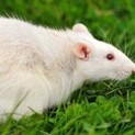 Rat HD Wallpaper | Rat Photos, Pictures | Cool Wallpapers | Top Photos and Wallpapers | Scoop.it
