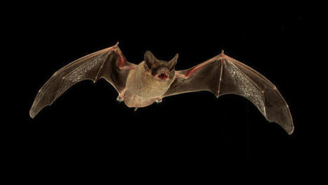 Amazing animals: Bats use sonar jamming to steal food | Why Nature Matters | Scoop.it