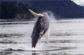 Juneau Humpback Whale Web-Catalog | Alaskan wildlife | Scoop.it