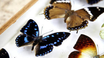 South Africa butterfly hunters: A rare breed | South Africa | Scoop.it