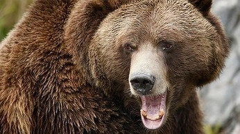 Bear snaps: mauled hiker's last moments captured on camera   Daily News Reads   Scoop.it